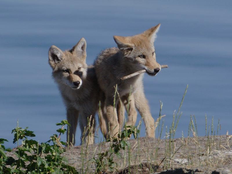 Coyote 30