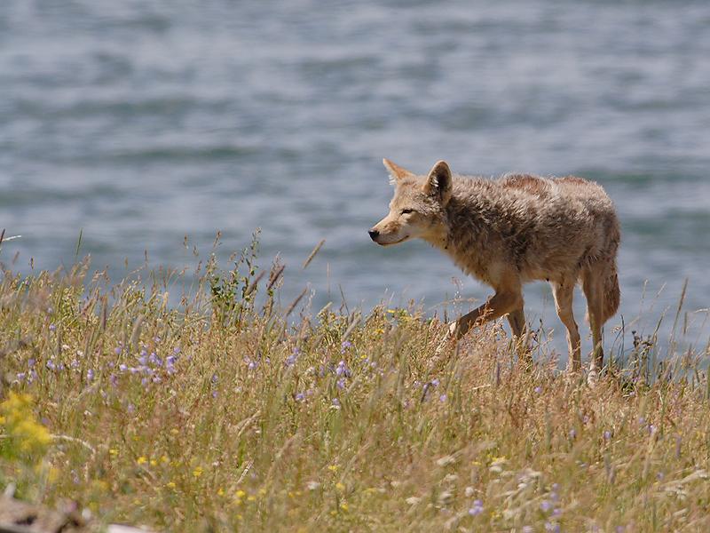 Coyote 140