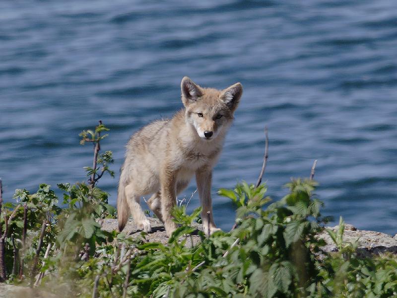 Coyote 160