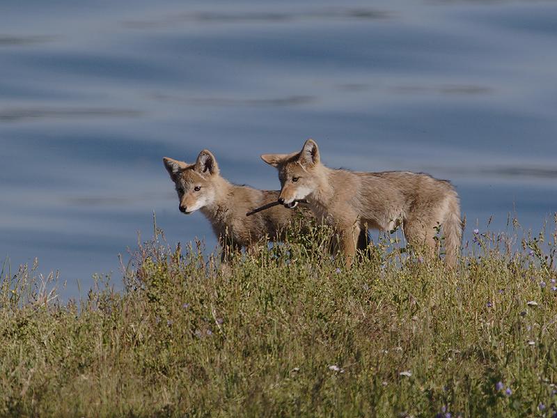 Coyote 190