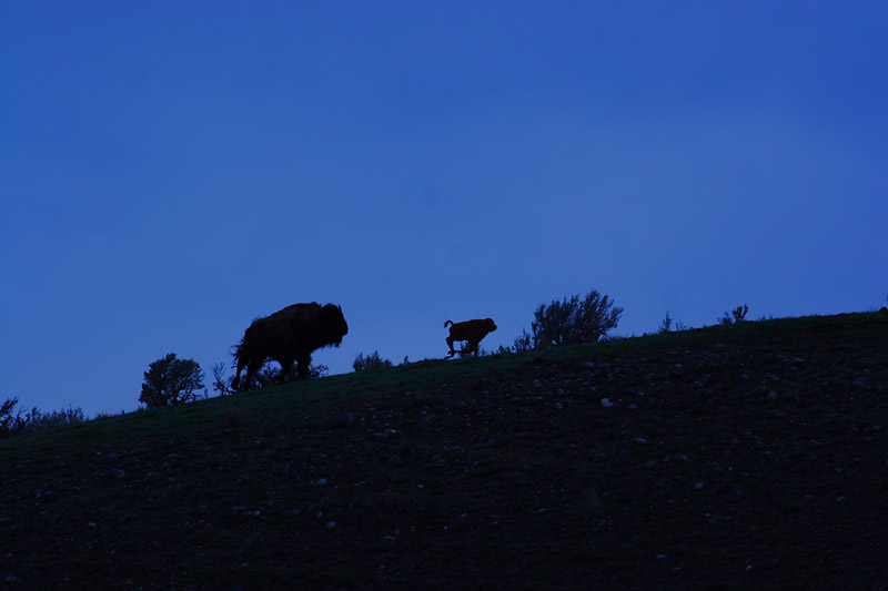 Bison 95