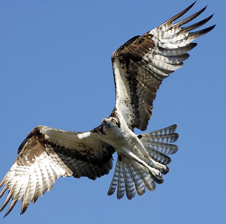 Spread Osprey - Lake Istokpoga