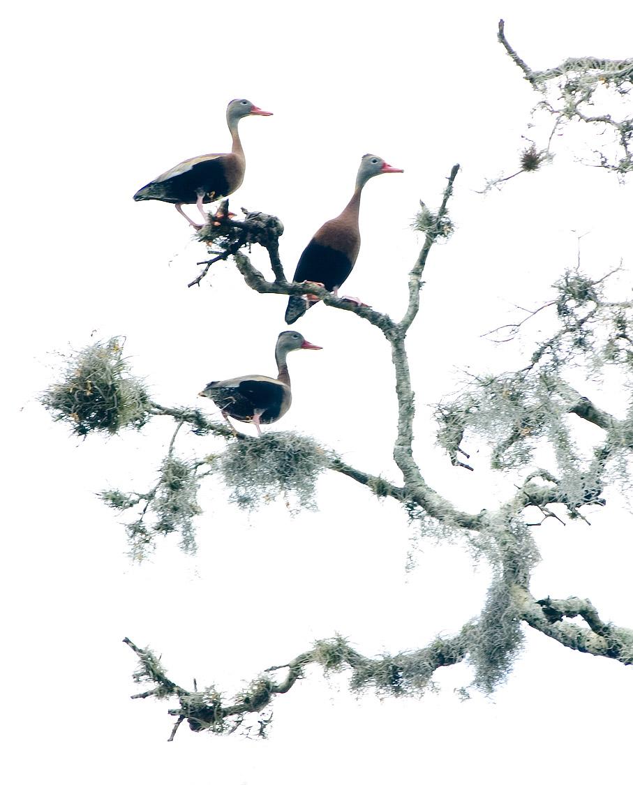 3 of 4 Black Bellied Whistling Ducks - Rye River