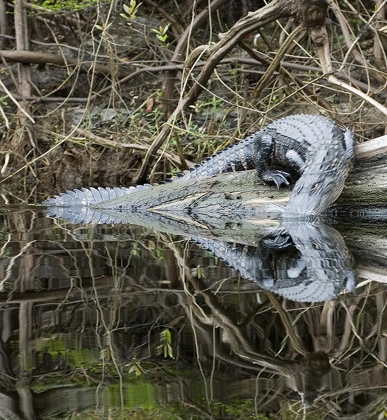 Gator Heart - Fisheating Creek