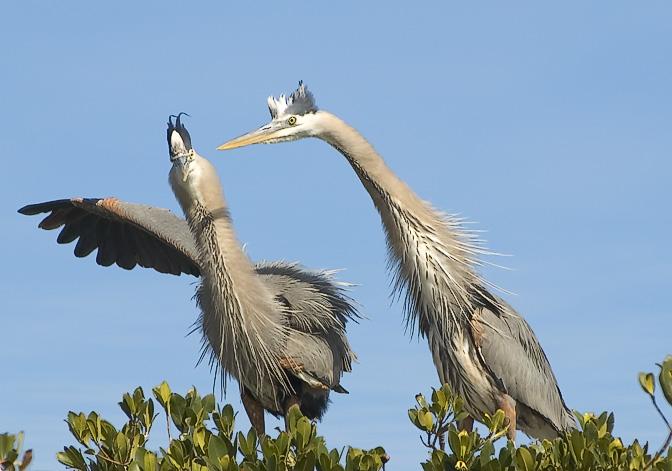 Great Blue Gossips - Roberts Bay Rookery