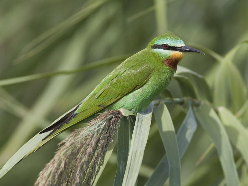 blue-cheeked bee-eater <br> groene bijeneter <br> Merops persicus
