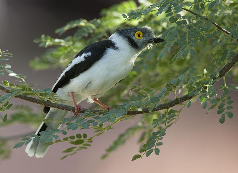 white-crested helmet-shrike <br> helmklauwier <br> Prionops plumatus