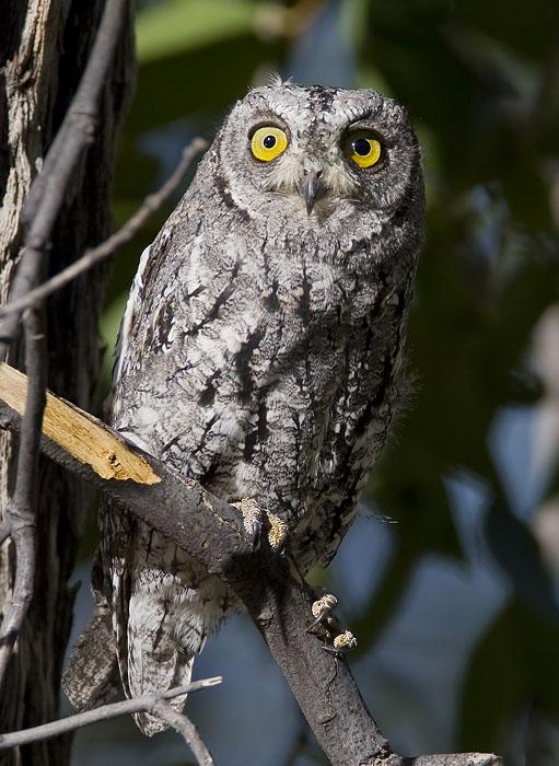 african scops-owl <br> afrikaanse dwergooruil <br> Otus senegalensis