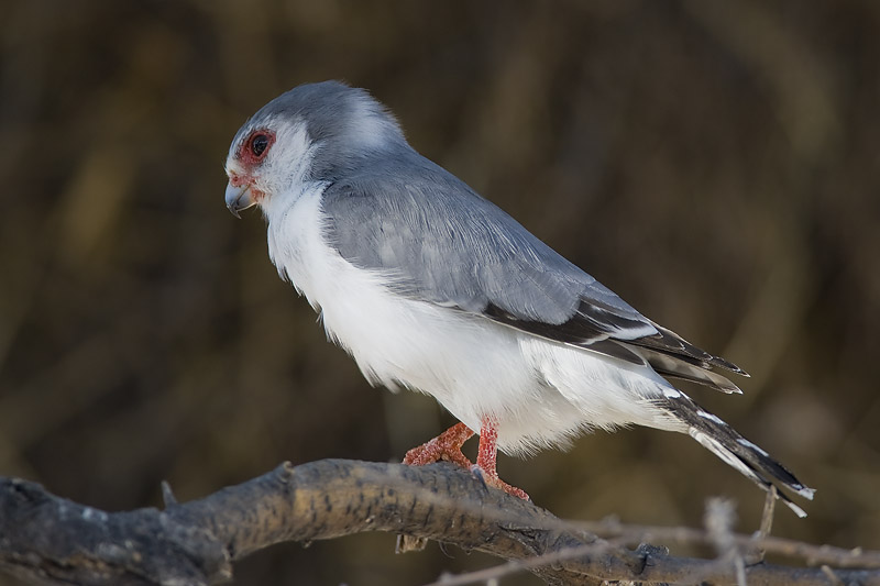 pygmy falcon <br> dwergvalk <br> Polihierax semitorquatus