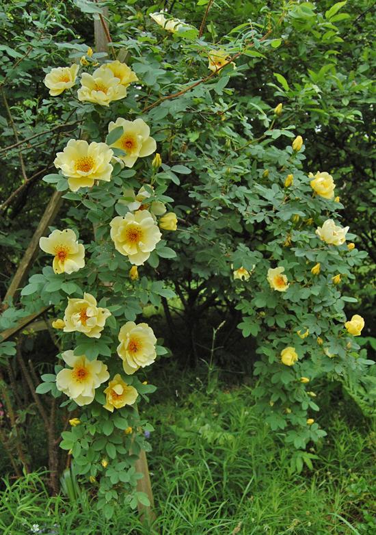 Aicha  Pimpinellifolia-rose