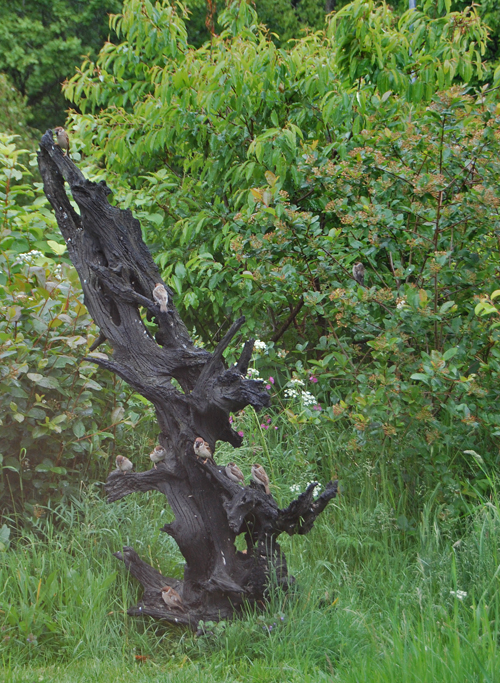 Old oak from a moor with tree sparrows