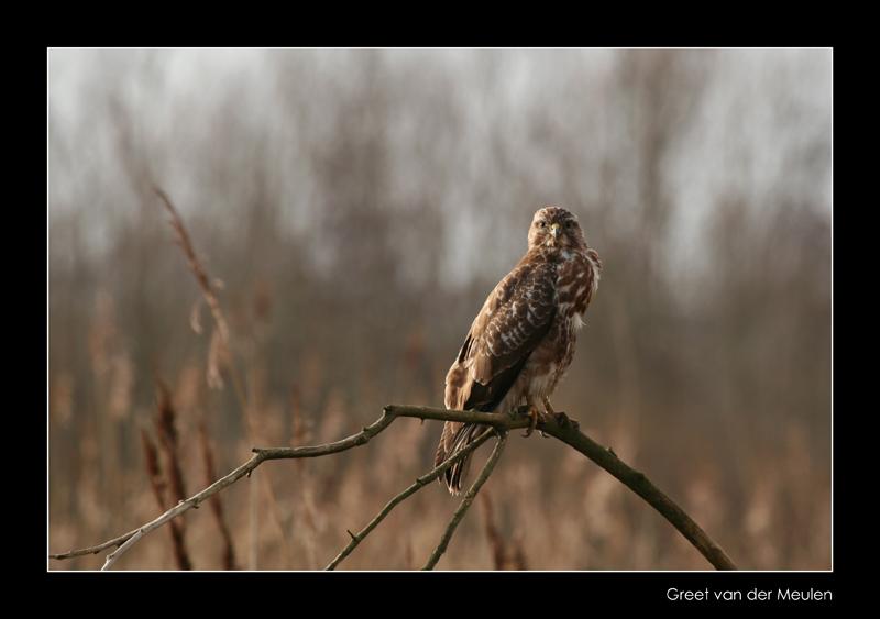 5314 buzzard