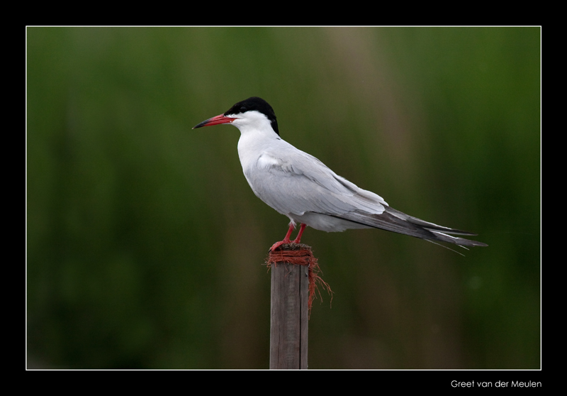 7942 common tern