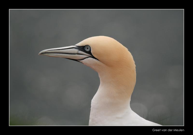 5072 gannet