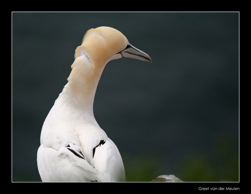 5115 gannet with refreshed neck