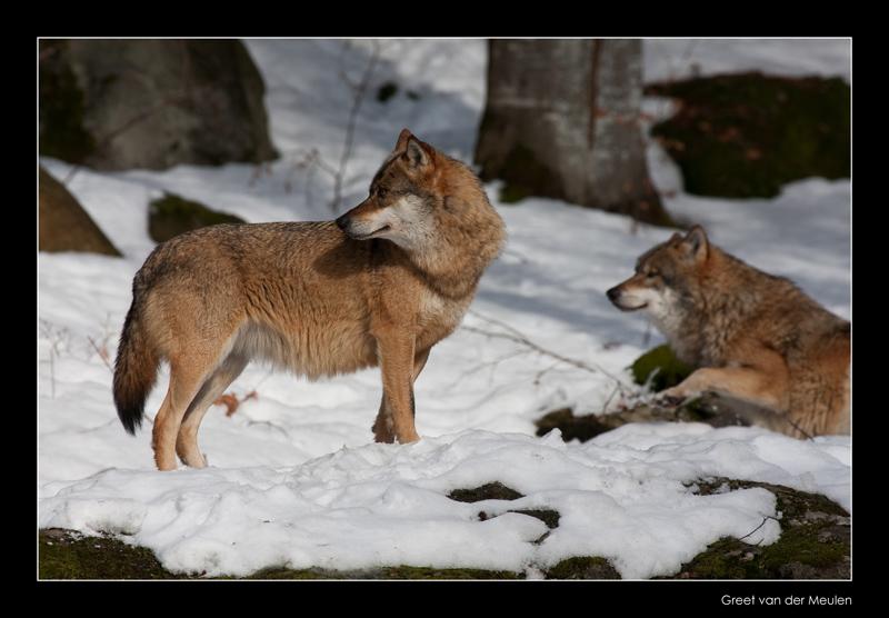 0629 wolf looking behind