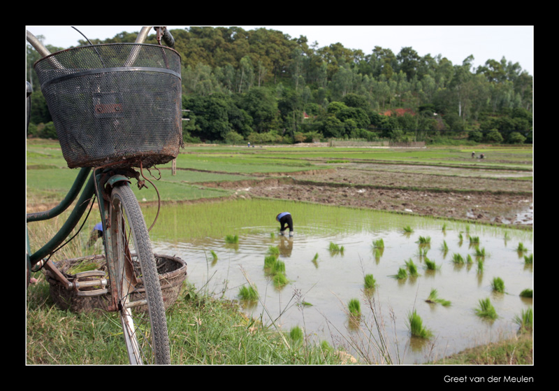 6989  Vietnam, rice harvest and transportation