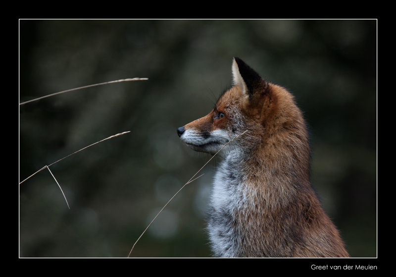 5359 vigilant fox