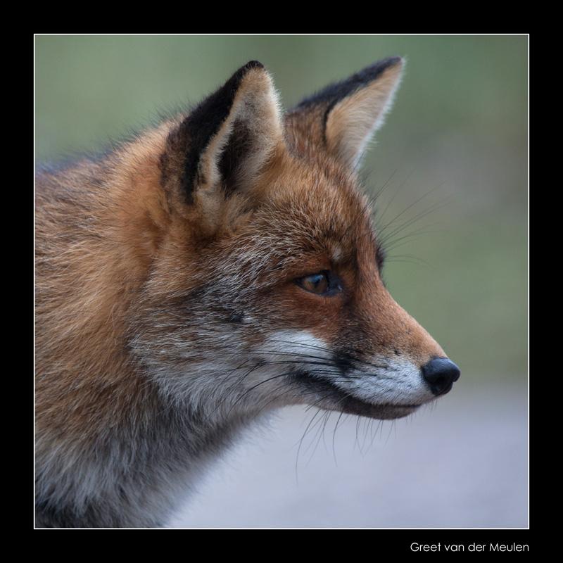 5807 fox portrait