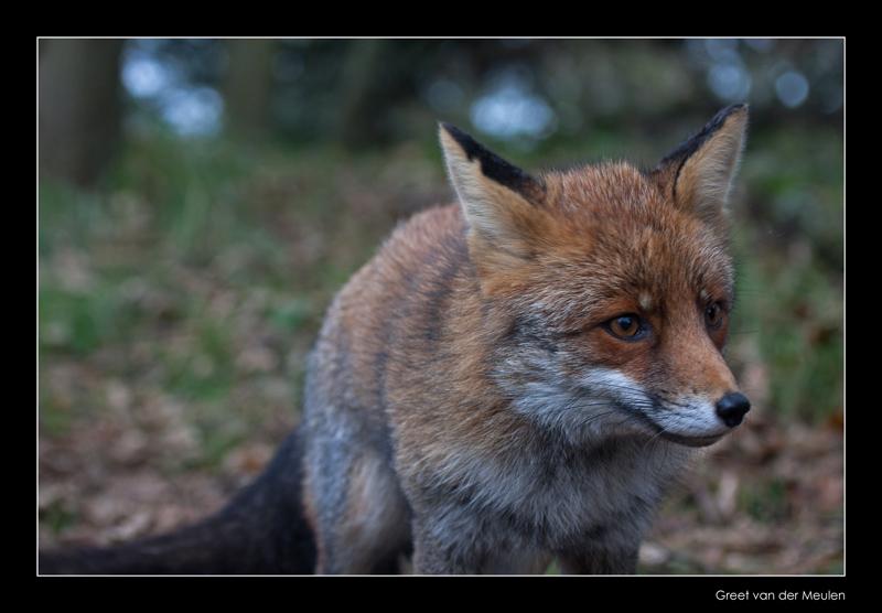 4683 fox