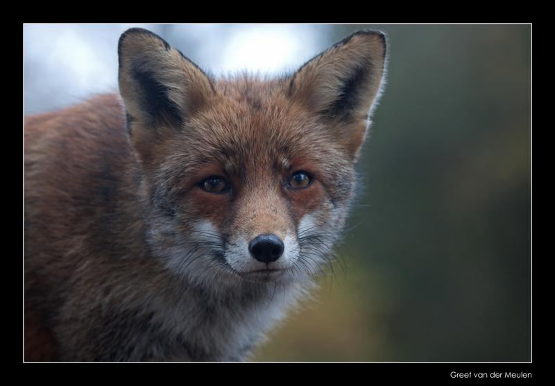4664 fox portrait