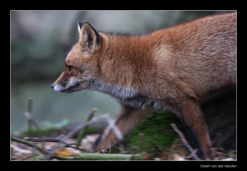 4943 running fox