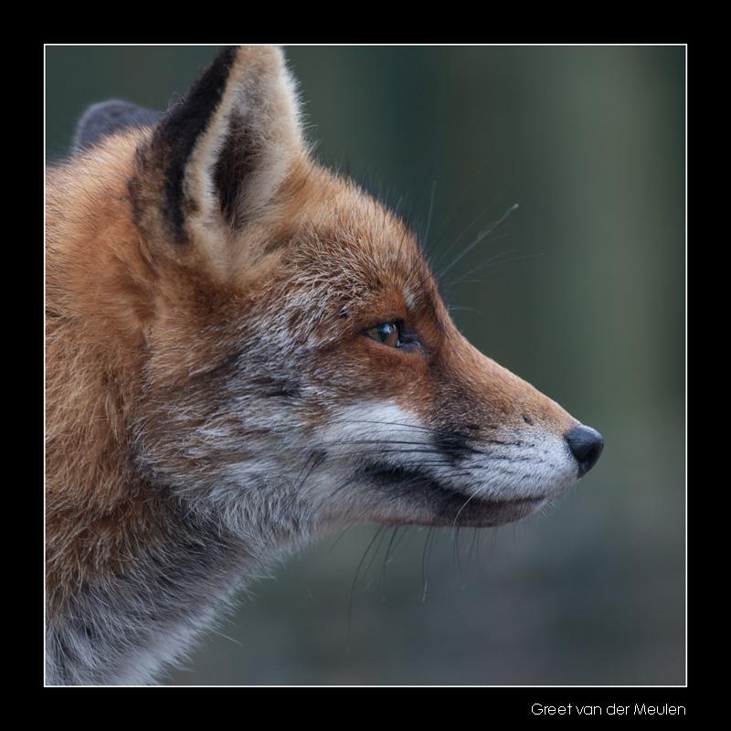 4720 fox portrait