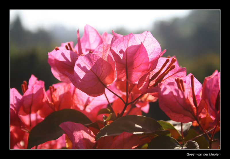 2753 Indonesia ,flower