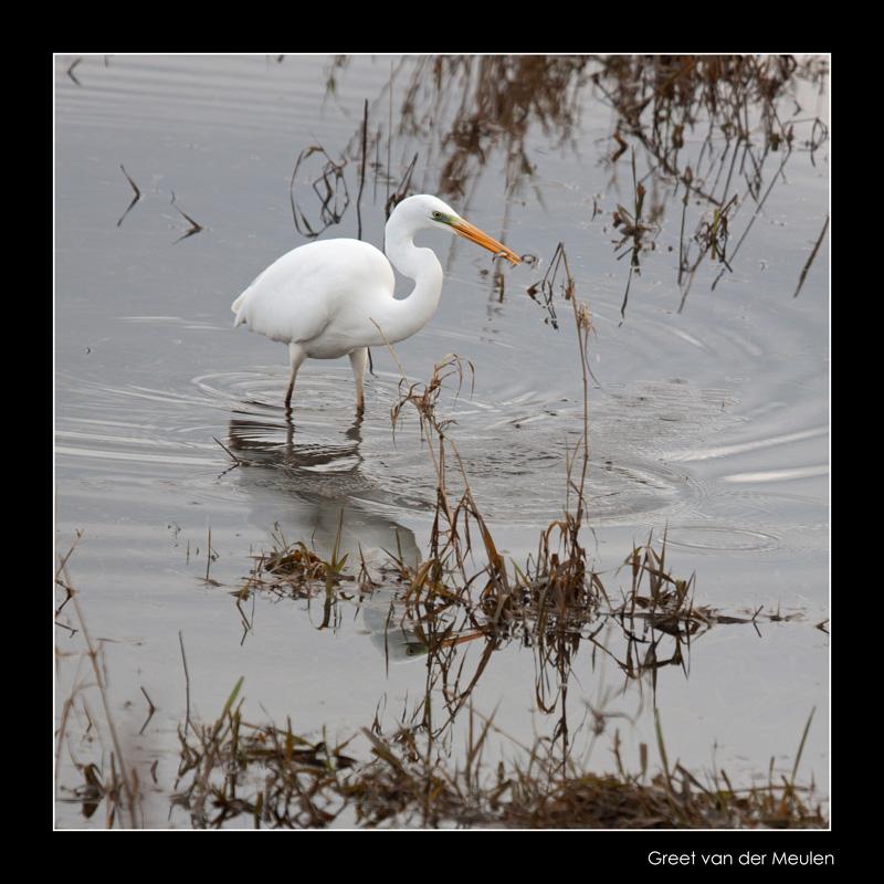 7483 great white heron