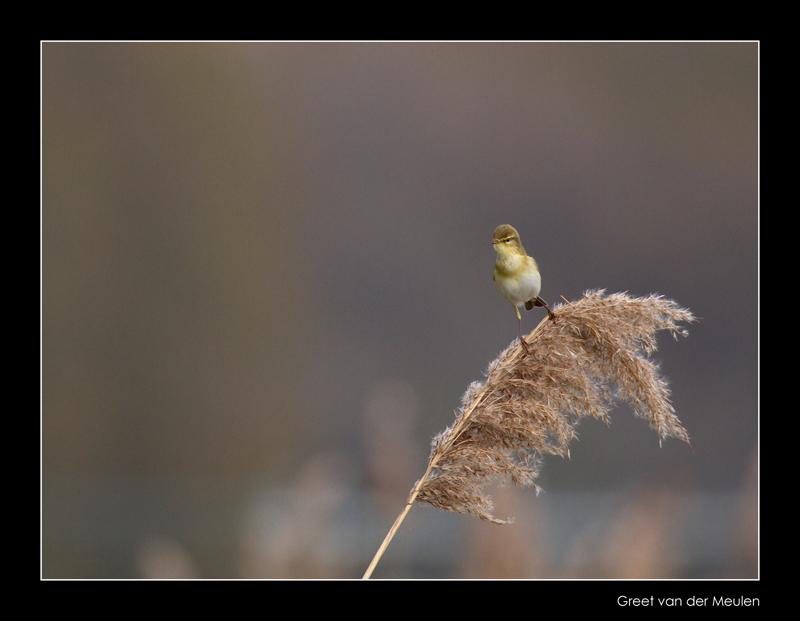 1912 willow warbler
