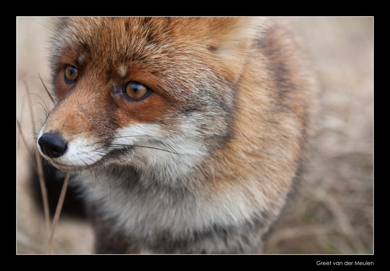 1232 fox portrait