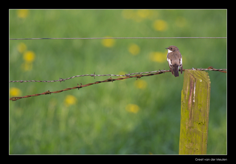 2146 pied flycatcher