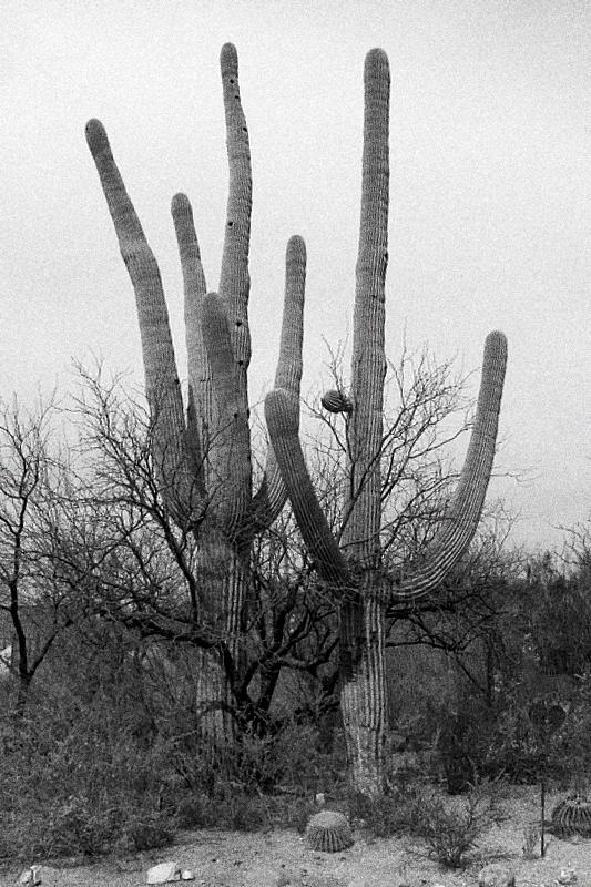 Saguaros by morey000