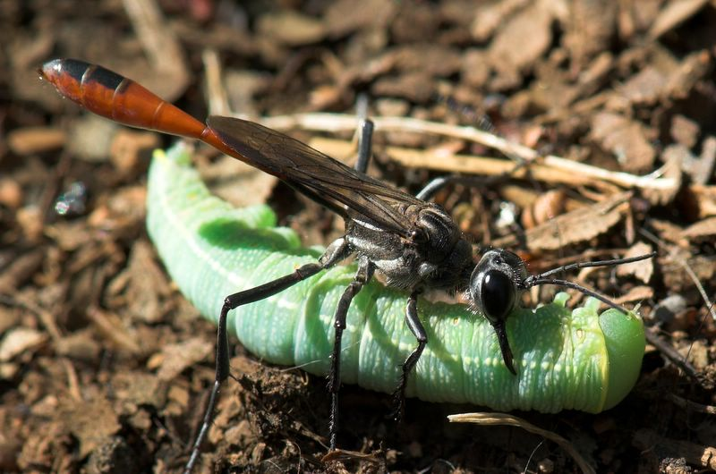 Thread-Waisted Digger Wasp attempting to drag off a caterpillar.