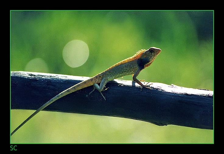 Nakhon Lizard