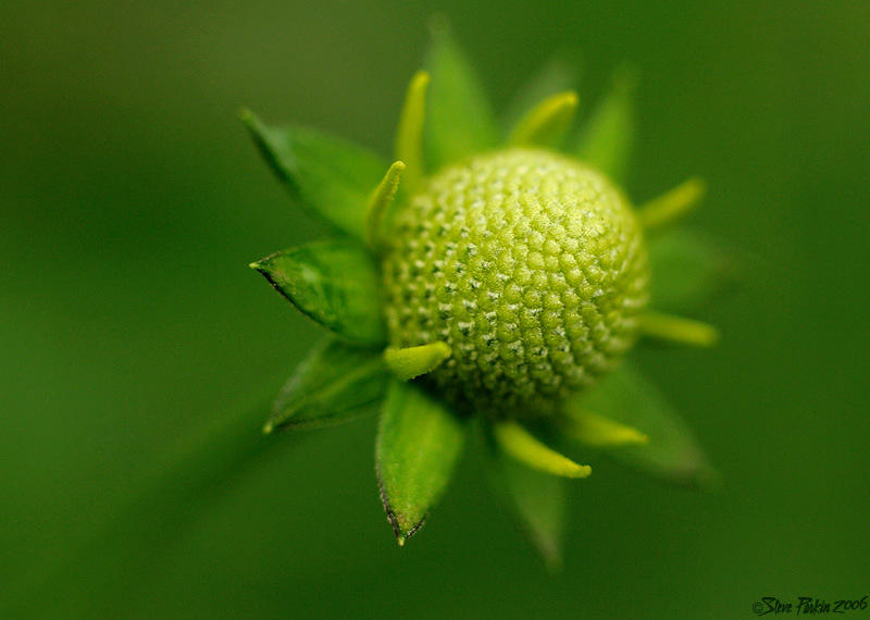Green Headed Coneflower - Pre Bloom