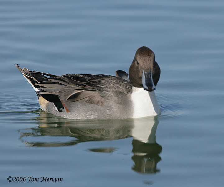 Northern Pintail,male