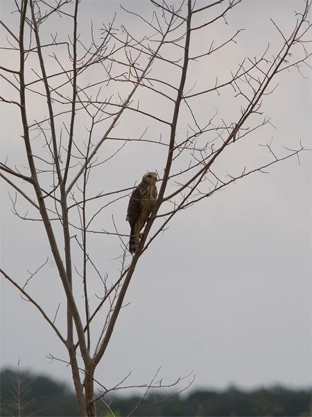 Roadside Hawk (juvenile) - Wegbuizerd (juveniel)