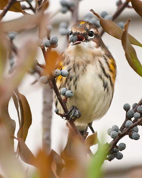Yellow-Rumped Warbler Eating Bayberry