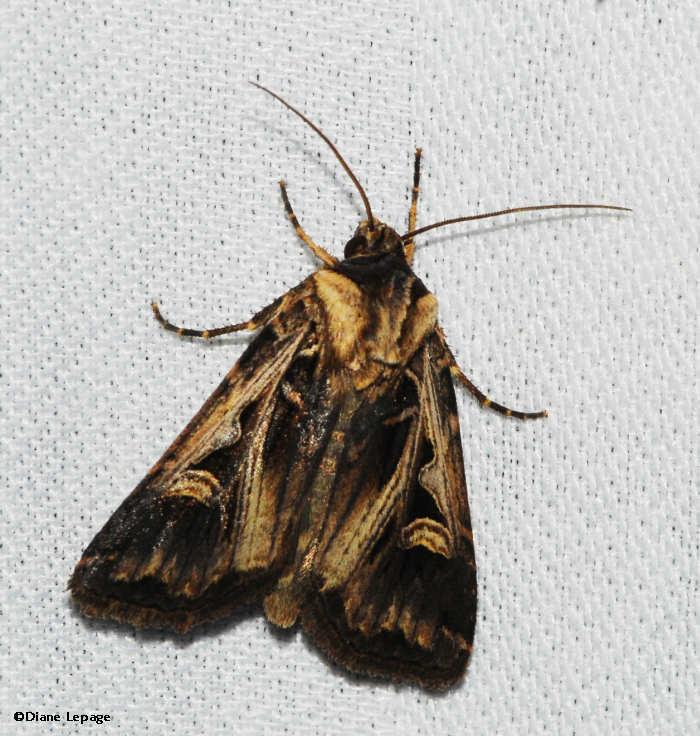 Dingy cutworm moth (<em>Feltia jaculifera</em>), #10670