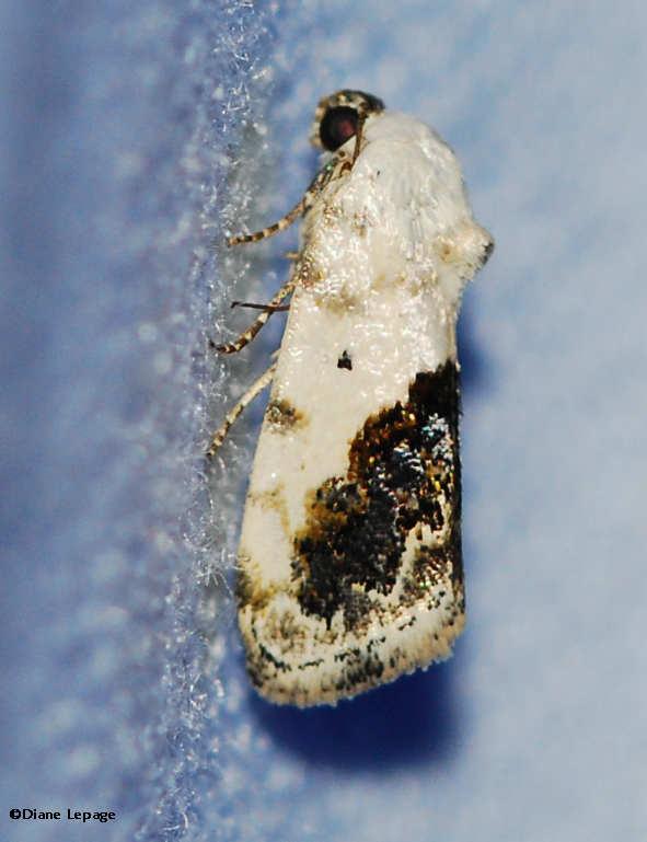Olive-shaded Bird-dropping Moth (<em>Ponometia candefacta</em>), #9090