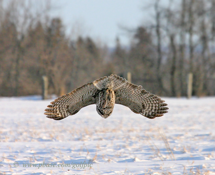 Great Gray Owl plunges toward snow covered ground