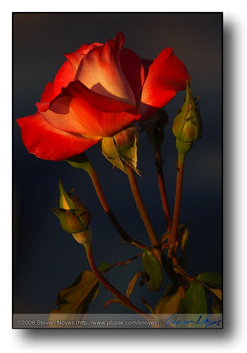 5D is a rose