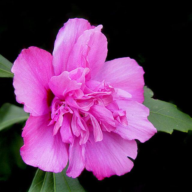 ROSE OF SHARON 2270.jpg