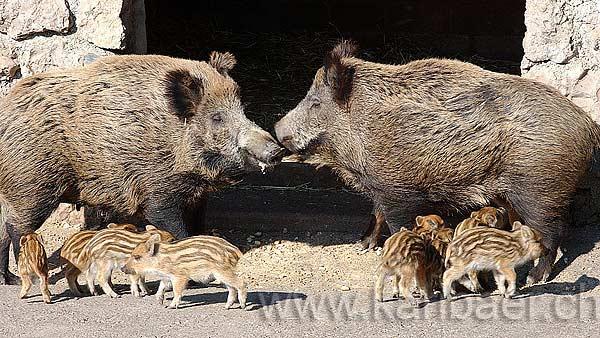 Wildschweine (9940)