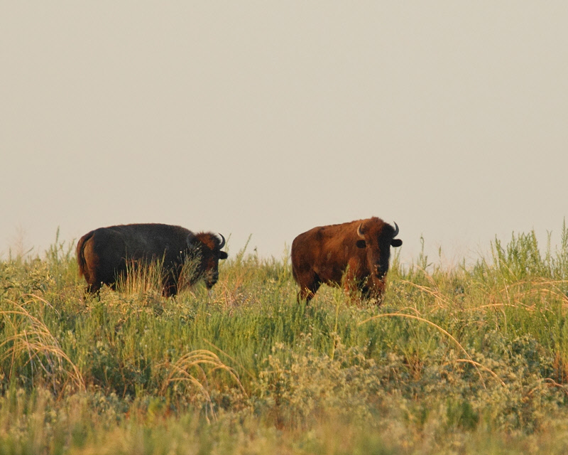 A Pair of Bison (2239)