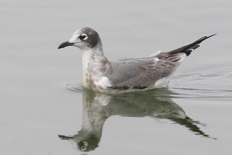Franklins Gull, first winter