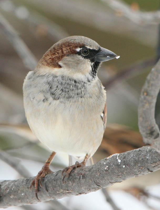 House Sparrow-Male