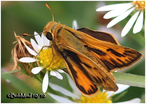 Fiery Skipper-Male
