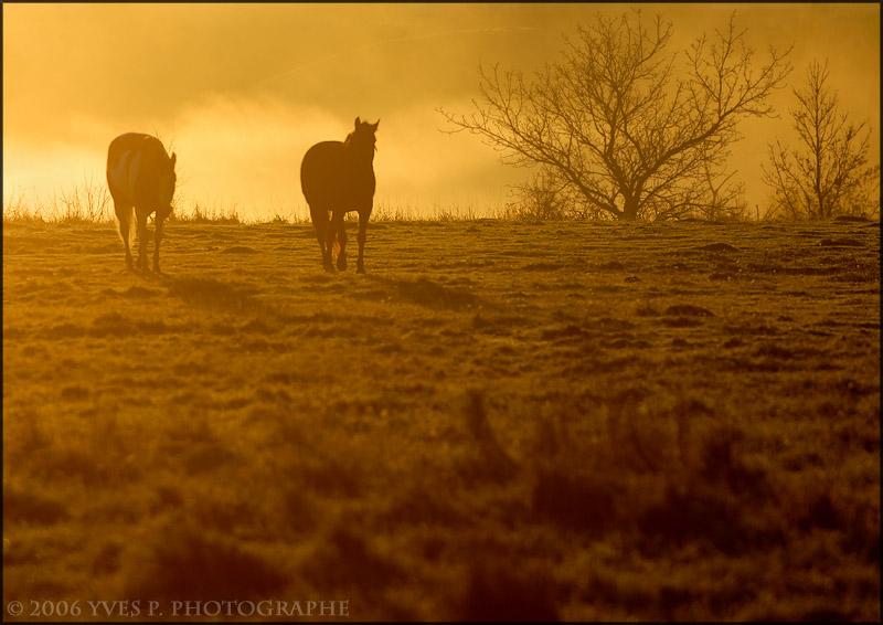 Horses in the morning light ...